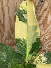 Load image into Gallery viewer, Variegated Dieffenbachia *huge!*