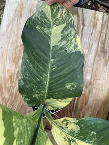 Variegated Dieffenbachia *huge!*