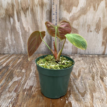 Load image into Gallery viewer, Philodendron El Choco