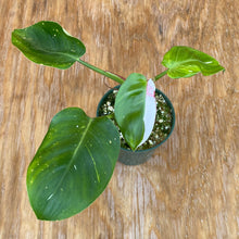 Load image into Gallery viewer, Philodendron White Princess