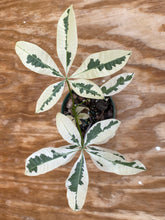 Load image into Gallery viewer, Macodes Sanderiana Jewel Orchid