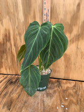 Load image into Gallery viewer, Philodendron 'Splendid' - Varrucosum X Melanochrysum