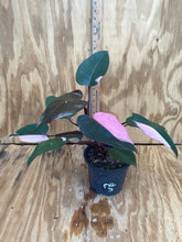 Load image into Gallery viewer, Philodendron Pink Princess huge High color