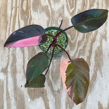 "Load image into Gallery viewer, Philodendron Pink Princess ""dark princess not Thai TC stock"""