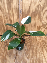 Load image into Gallery viewer, Philodendron White Princess - ultra High Color!