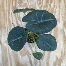 Load image into Gallery viewer, Alocasia Maharani - 'Gray Dragon'