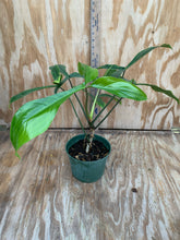Load image into Gallery viewer, Philodendron 69686