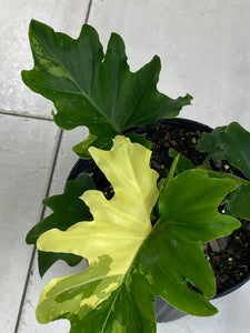 Variegated Philodendron Hope (THAUMATOPHYLLUM SELLOUM)