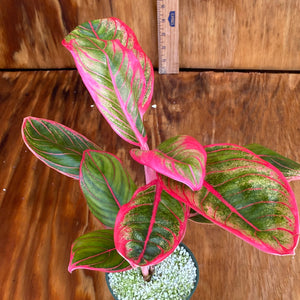 Aglaonema Lotus - With Pup