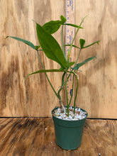 Load image into Gallery viewer, Philodendron 69685