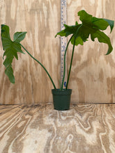 Load image into Gallery viewer, PLANTiMUS FREE PLANT!! Philodendron Mottled Dragon XL