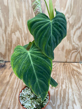 Load image into Gallery viewer, Philodendron 'Splendid' Verrucosum X Melanochrysum