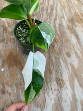 Load image into Gallery viewer, Philodendron White Princess *3 growth points!*