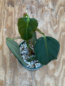 Philodendron Gigas