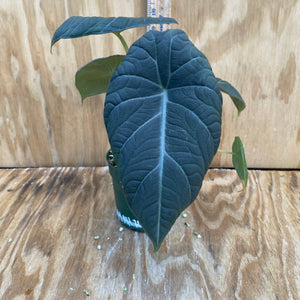 Alocasia Maharani - 'Gray Dragon'
