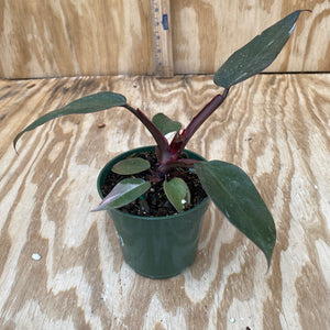 Philodendron Pink Princess low color