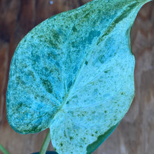 "Load image into Gallery viewer, Alocasia cuculata White variegated ""mint"""