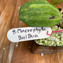 Load image into Gallery viewer, Hoya Macrophylla Bai Bua