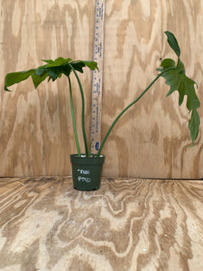 PLANTiMUS FREE PLANT!! Philodendron Mottled Dragon XL