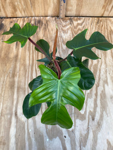 Philodendron  sqaumiferum big!!