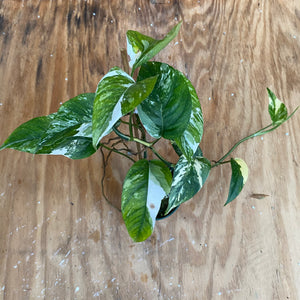 Epipremnum Pinnatum Variegata - Great Color and super long!