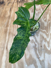 Load image into Gallery viewer, Philodendron Mottled Dragon