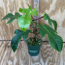 Load image into Gallery viewer, Philodendron Squamiferum