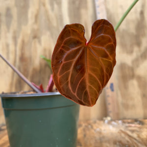 Anthurium Crystalinum dark crystal