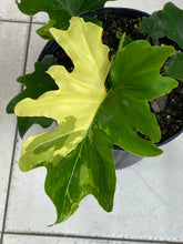 Load image into Gallery viewer, Variegated Philodendron Hope (THAUMATOPHYLLUM SELLOUM)