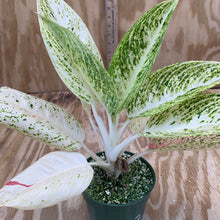 Load image into Gallery viewer, Aglaonema Sport