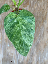 Load image into Gallery viewer, Philodendron Giganteum Blizzard