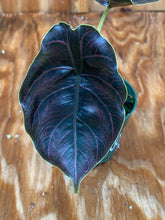 Load image into Gallery viewer, Alocasia Azlanii