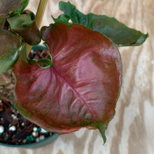 Load image into Gallery viewer, Syngonium Strawberry Ice low color but big!