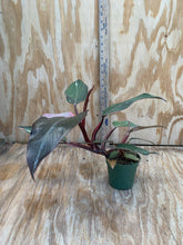 Load image into Gallery viewer, Philodendron Pink Princess