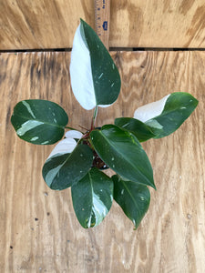 Philodendron White Princess - ultra High Color!