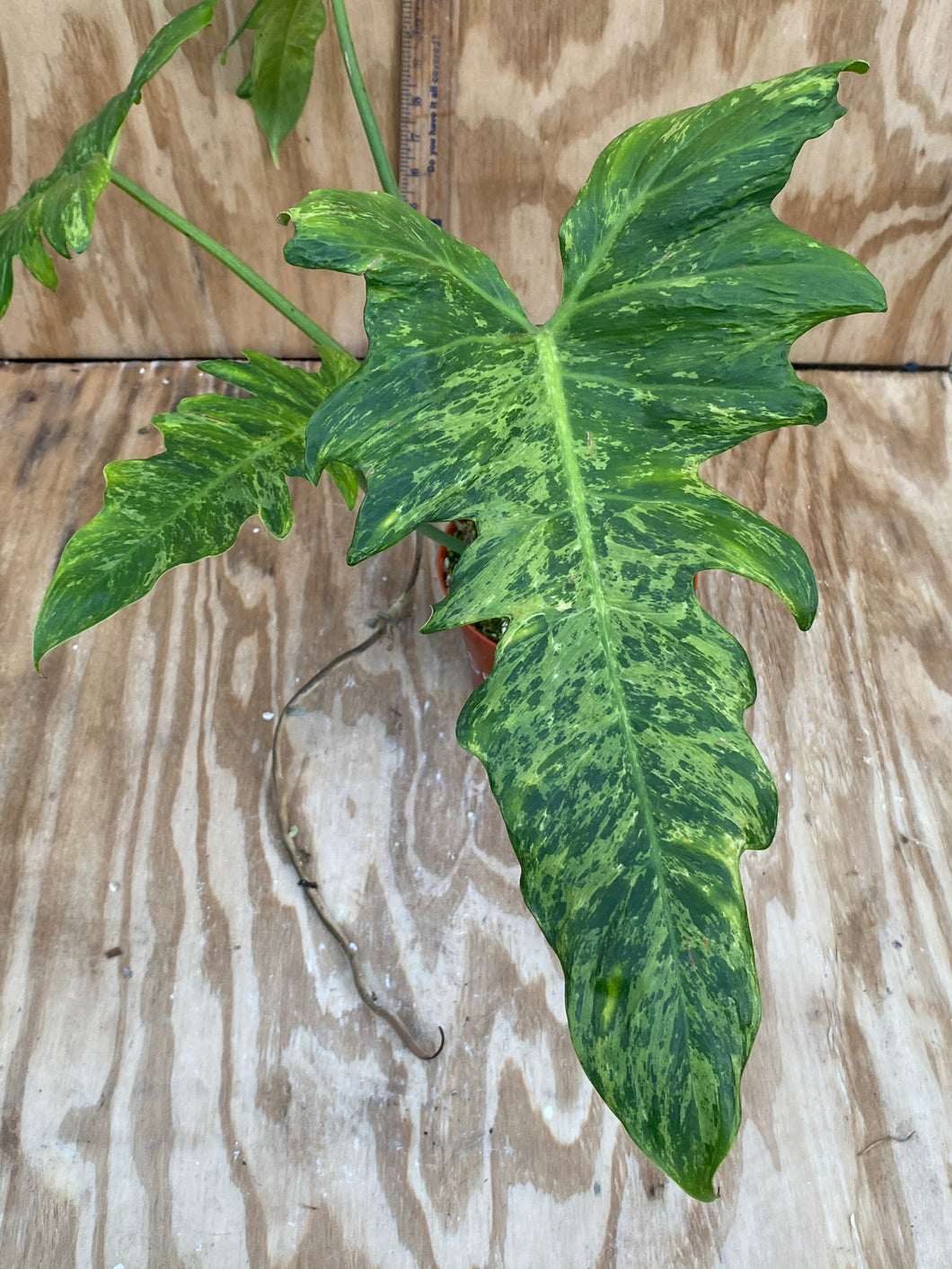 Philodendron Mottled Dragon - Large! 🎊🎉🎊