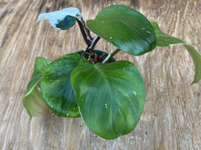 Load image into Gallery viewer, Philodendron White Knight