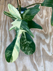 Philodendron Florida Beauty - Anazing Color!