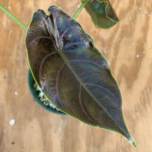 Load image into Gallery viewer, Alocasia Azlanii *super sale!*