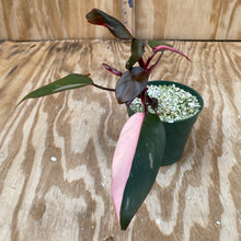 Load image into Gallery viewer, Philodendron Pink Princess (dark princess, not Thai)