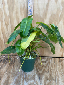 Variegated Philodendron Burle Marx