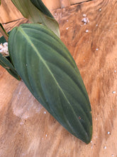 Load image into Gallery viewer, Philodendron Gigas