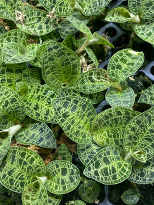 Macodes Petola *Jewel Orchid* (growers choice)