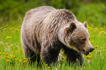 Grizzly Bear Wildlife Tour Banff for 4