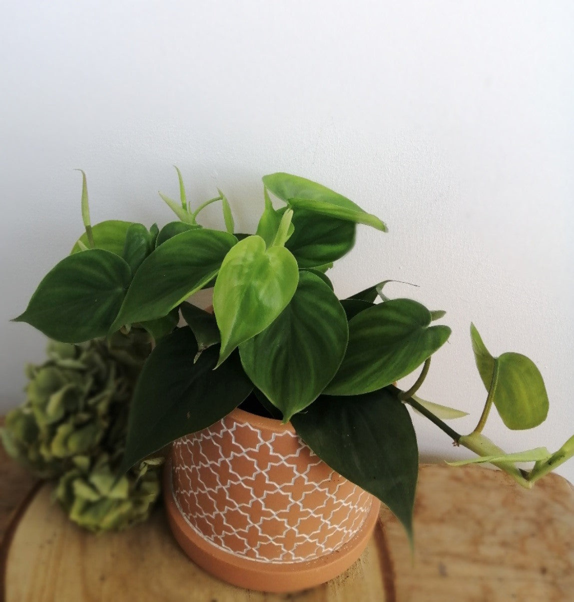 Philodendron Scandens 'Sweetheart vine'