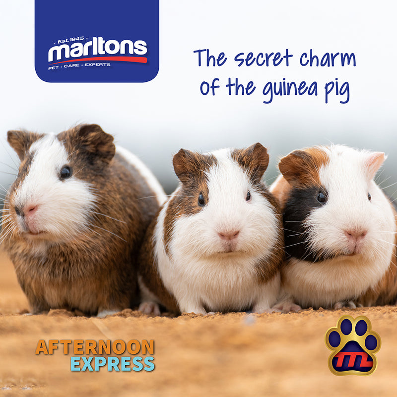 How to choose the right pet for you – Guinea Pigs