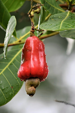 cashew apple red