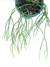 "Load image into Gallery viewer, Rhipsalis baccifera - 10"" Unrooted Cutting"