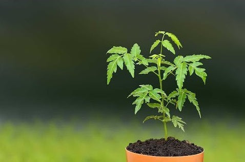 Neem Plant as Gift