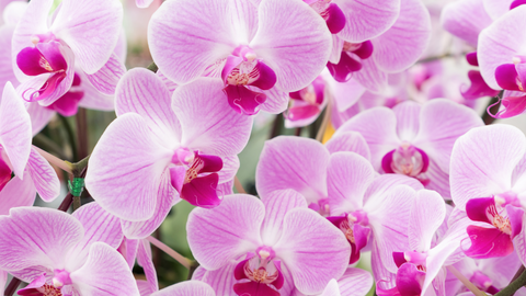 Orchids Importer India